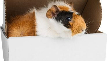 A report on caring and farming of Guinea pigs