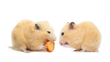 Petting a Hamster is an easy and fun-filled task