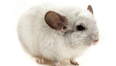 Chinchillas Make One of the Best Pets unlike Popular Belief