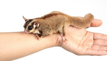 Can Sugar Gliders make Good Pets?